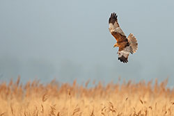 Marsh-Harrier.jpg