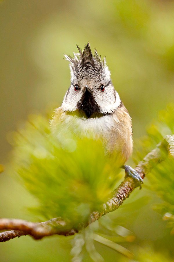 Crested Tit. Pic: Neil McIntyre