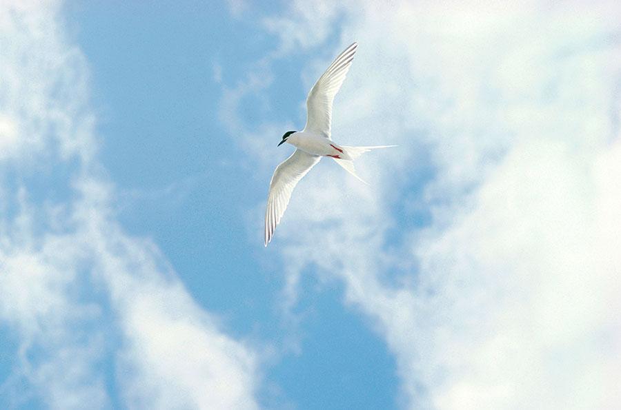 tern.jpg