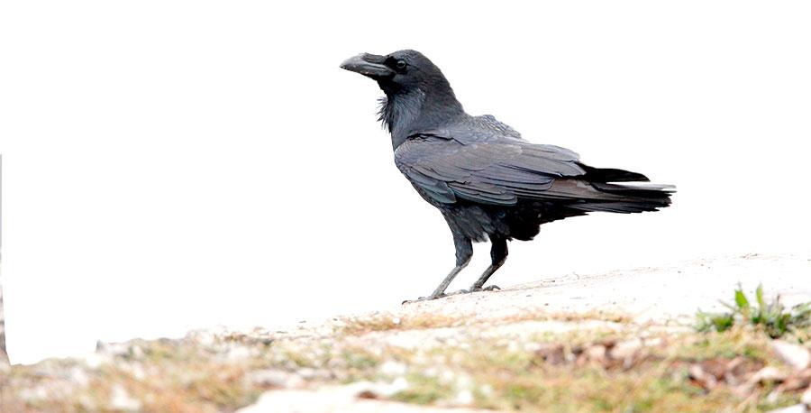RavenB5E28P.jpg