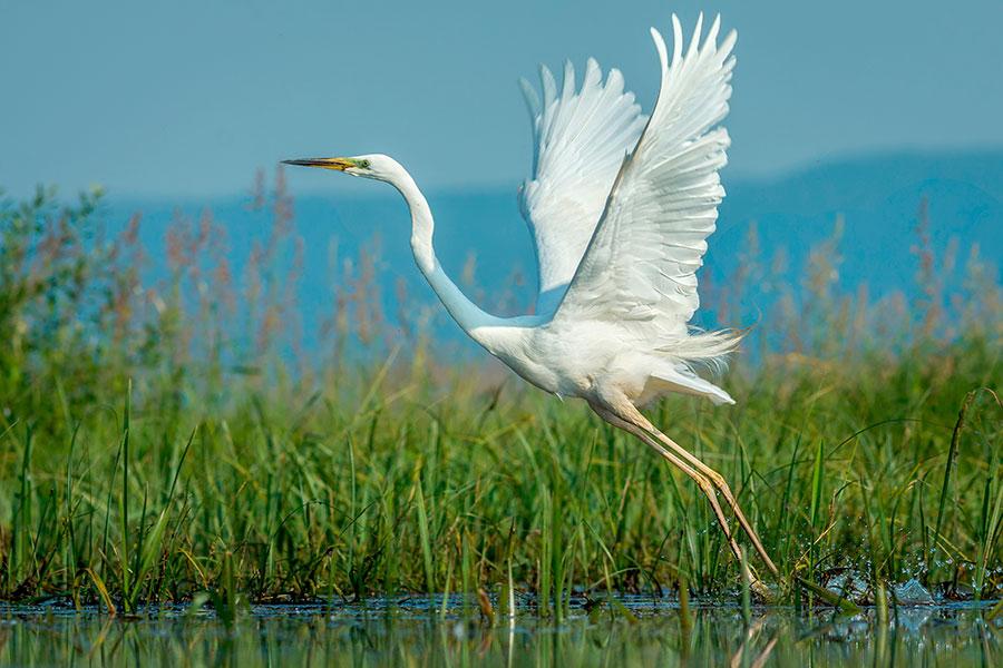 Great-White-Egret-in-flight.jpg