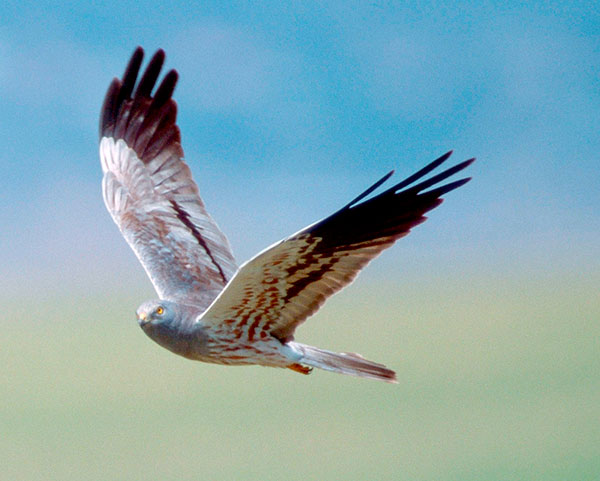 Montagu's Harrier by Arco Images GmbH/Alamy