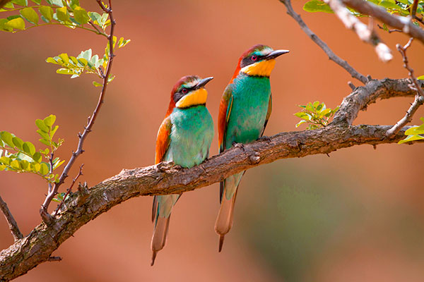 Seeing Bee-eayers is one of Fyfe's favourite birding experiences. Pic: blickwinkel/Alamy