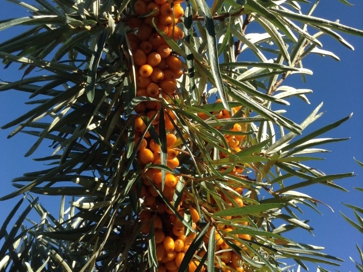 Sea Buckthorn - Clarifying & rejuvenating