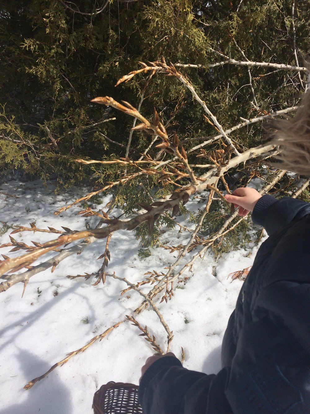 Poplar Buds - Our often overlooked ingredient…
