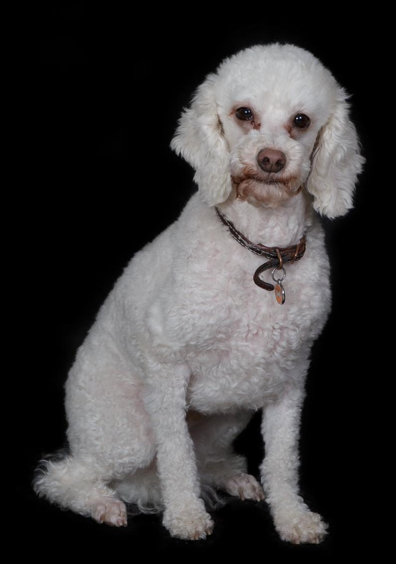 Beau - PoodleGrooming ModelFront desk assistant