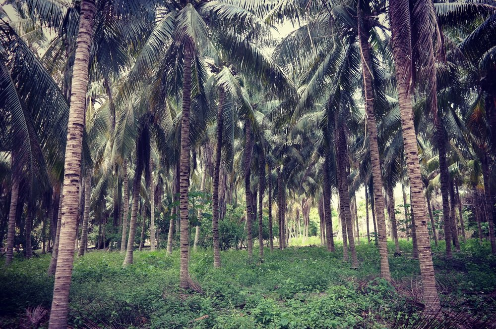 We found a deserted plot of palm trees just waiting to be climbed!