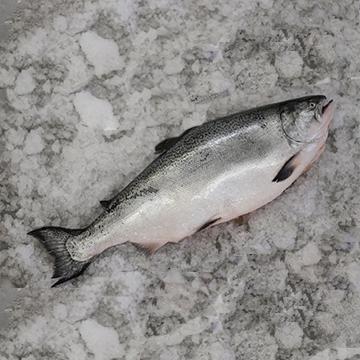 Ora King Salmon (Whole Fish)*