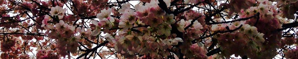 banner blossoms 2.jpg