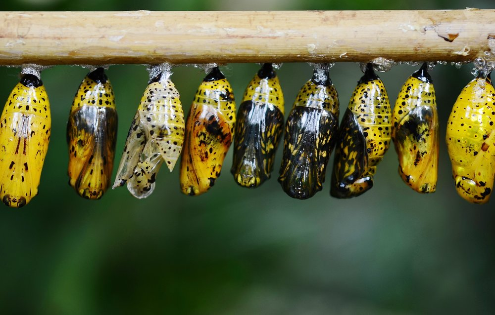 cocoon-butterfly-insect-animal-39862.jpeg