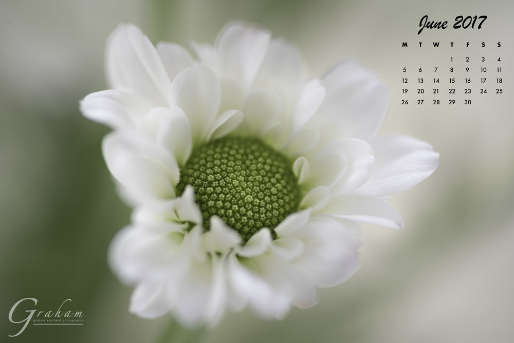 June 2017 -  A miniature daisyClick the image to open and download