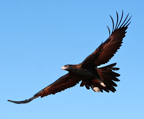 Wedge-tail Eagle - image from  office of environment and heritage  NSW