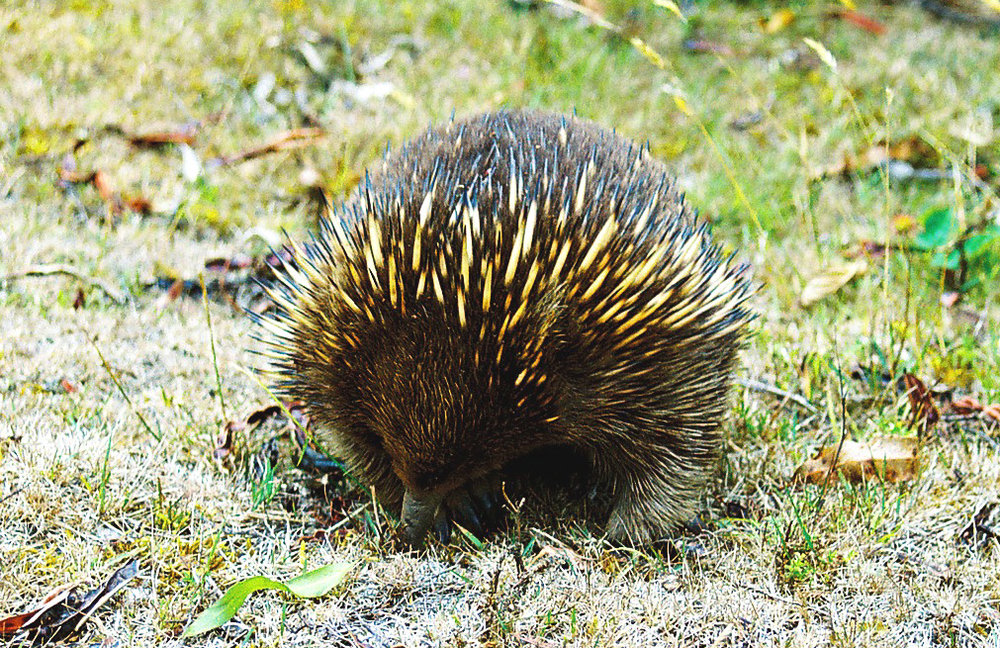 Echidna in The Valley - photo by Trudi Bird