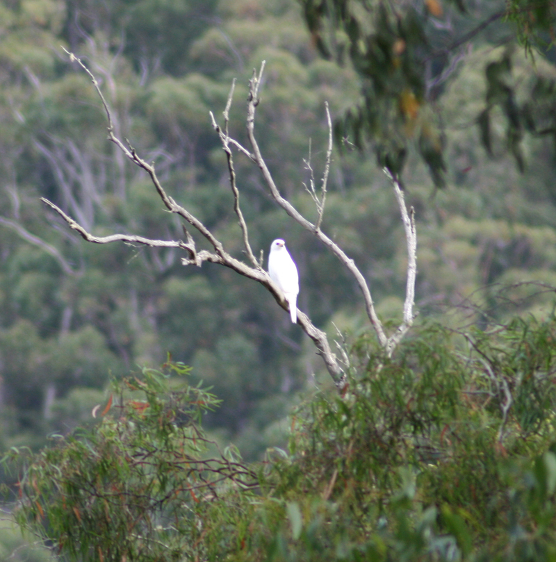 Photo of Grey Goshawk in The Valley by Trudi Bird