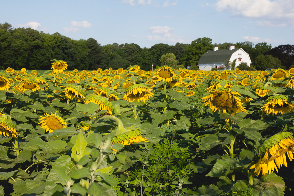 (Fields of sunflowers at The Inn at Huntingfield Creek)
