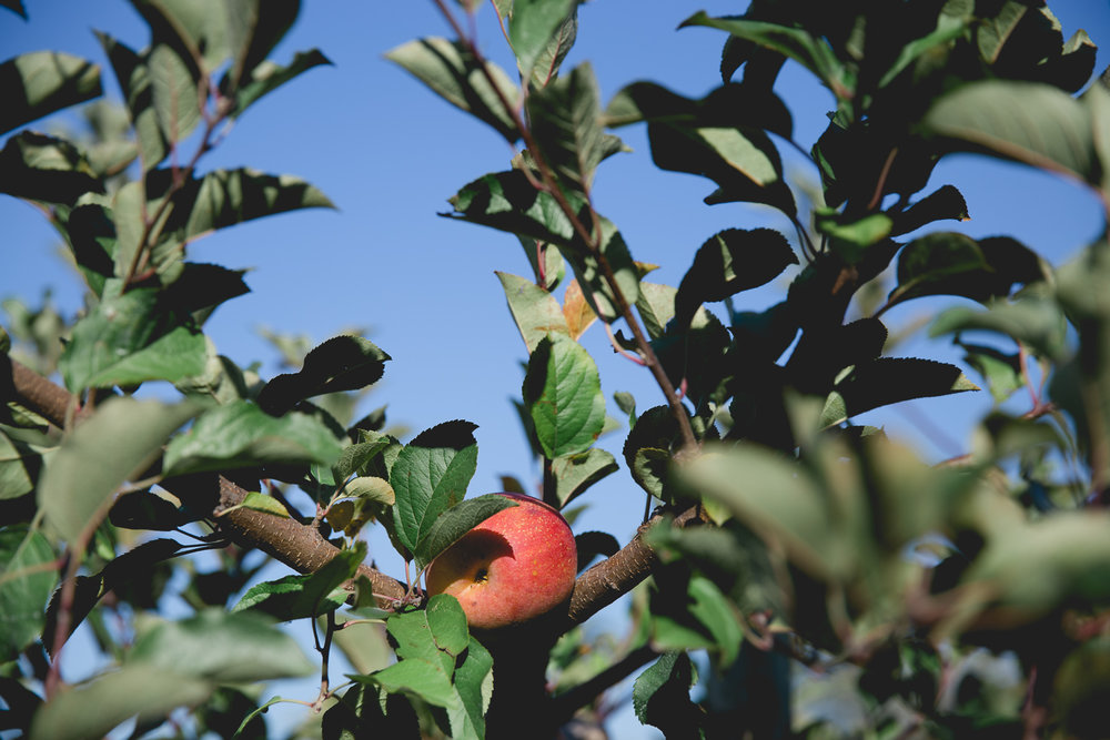 Fuji apple at a Maryland orchard