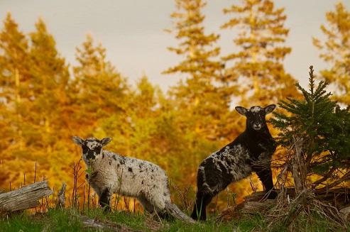 Hardy, wooly vigorous lambs!  The key to success in natural systems shepherding.