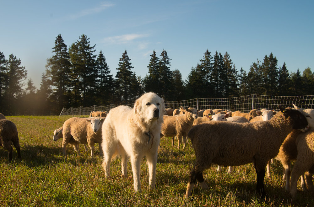 Belle guards the growing lambs - always attentive.