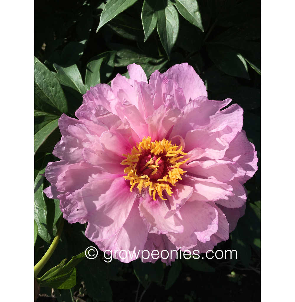 First Arrival Peony