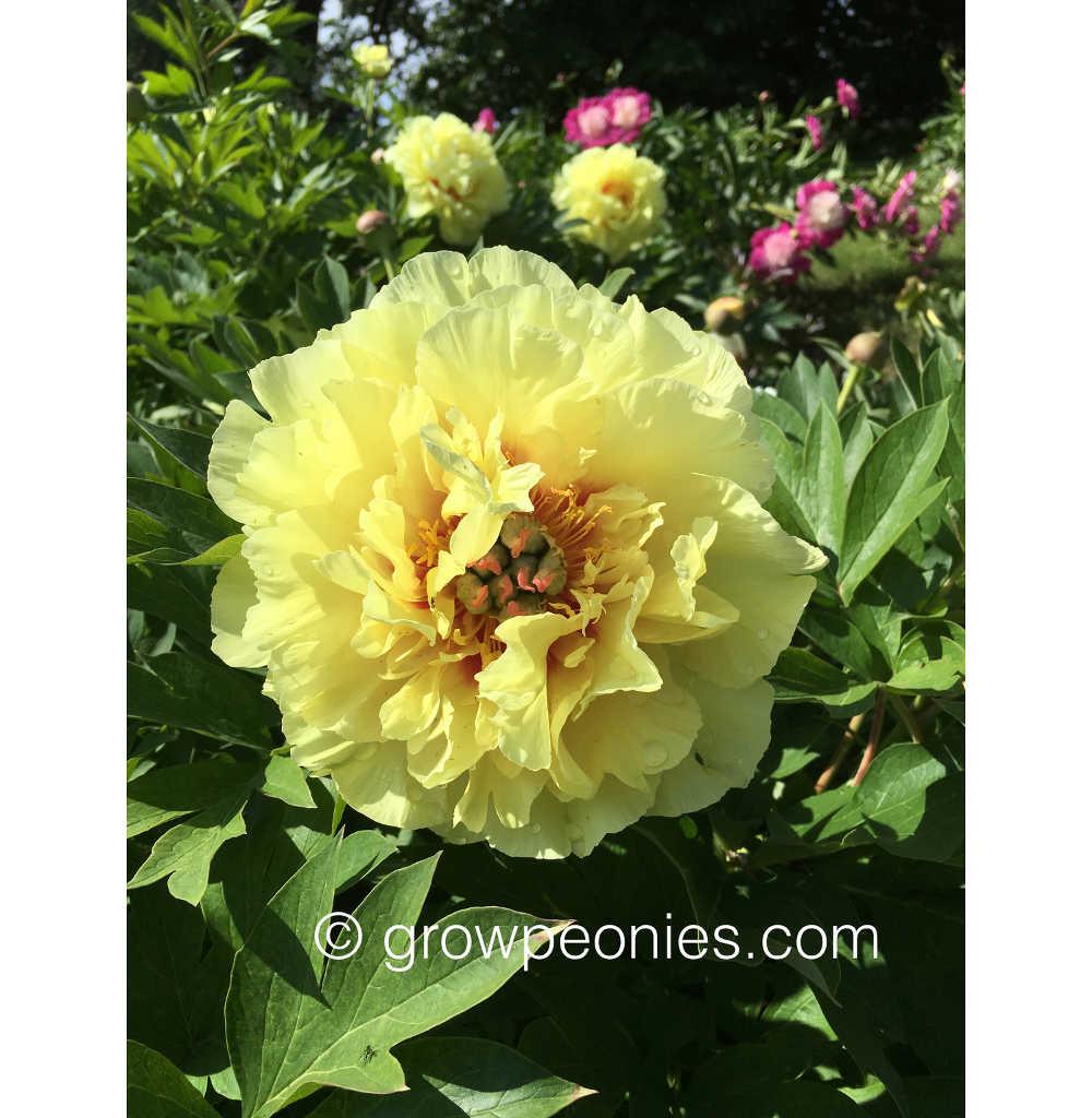 Garden Treasure Peony