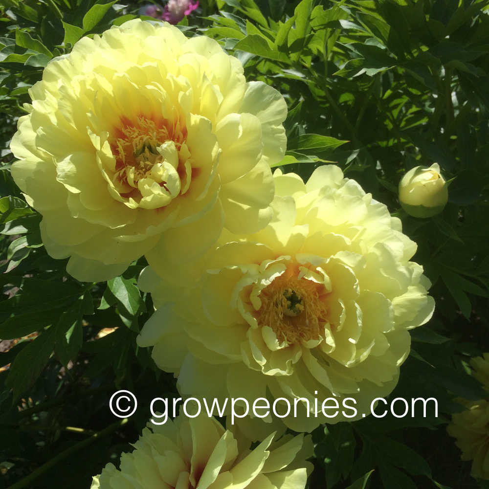 Shop Yellow Peonies
