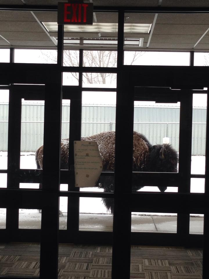 Dorothy Dears of Gardiner, Montana snapped this picture of a bison outside of the Gardiner school.