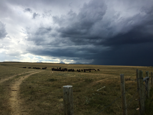 Bison on the Blackfeet Reservation