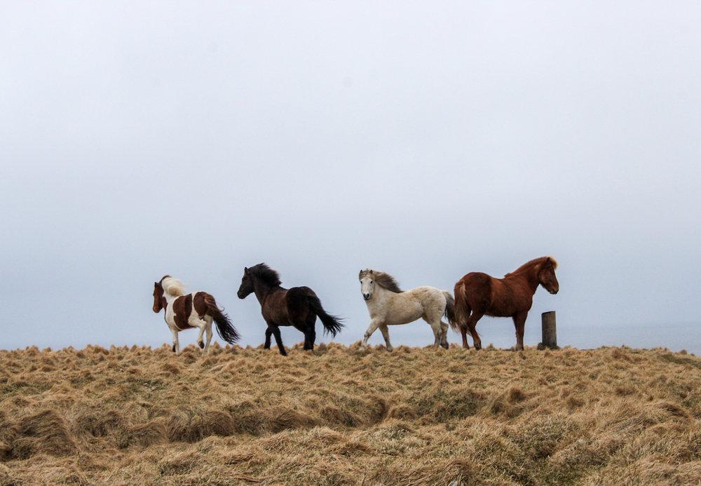 Icelandic horses on Grímsey Island