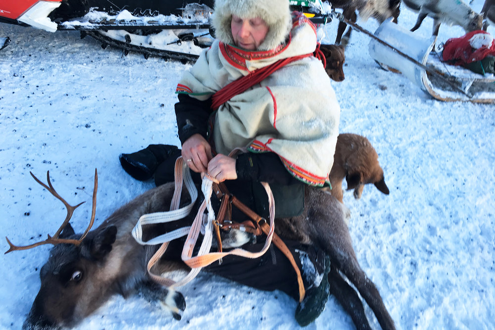 Reiulf Aleksandersen ties + secures sick reindeer to take back to the main house for extra care