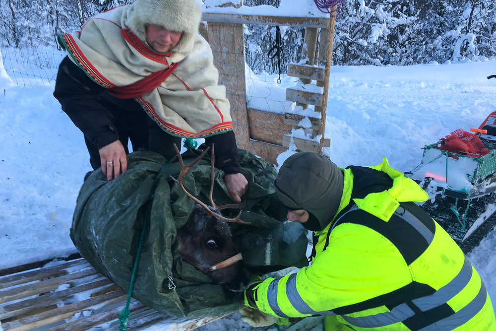 Reindeer being secured to sled for snowmobile trip back to the main house to receive extra care