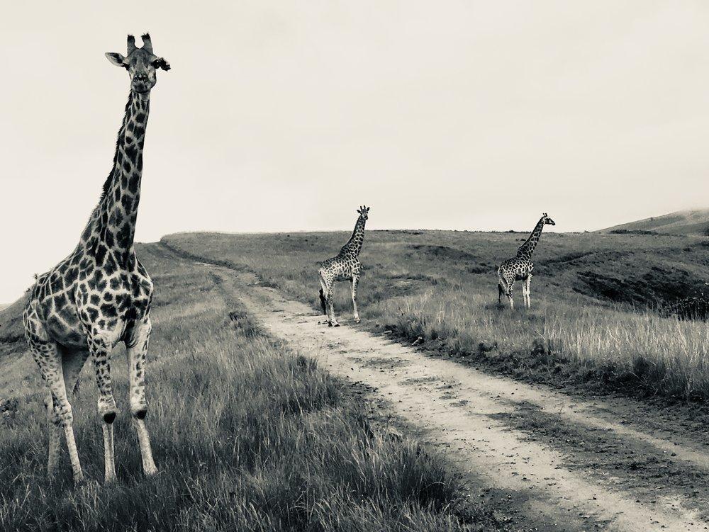 giraffes(1).jpg