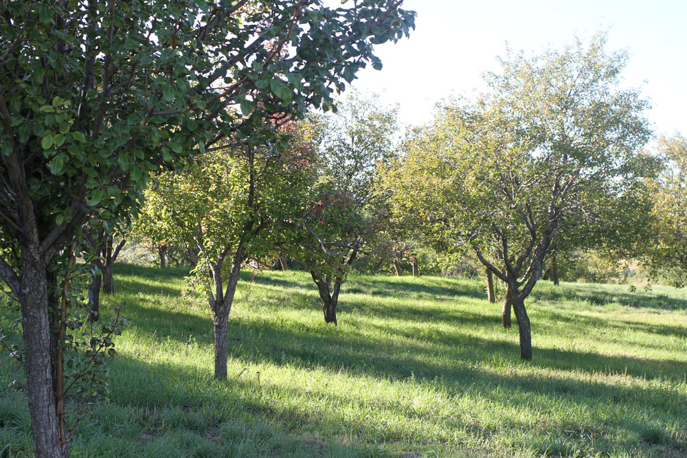 Apple and pear fruit orchard, well maintained and chemical-free.