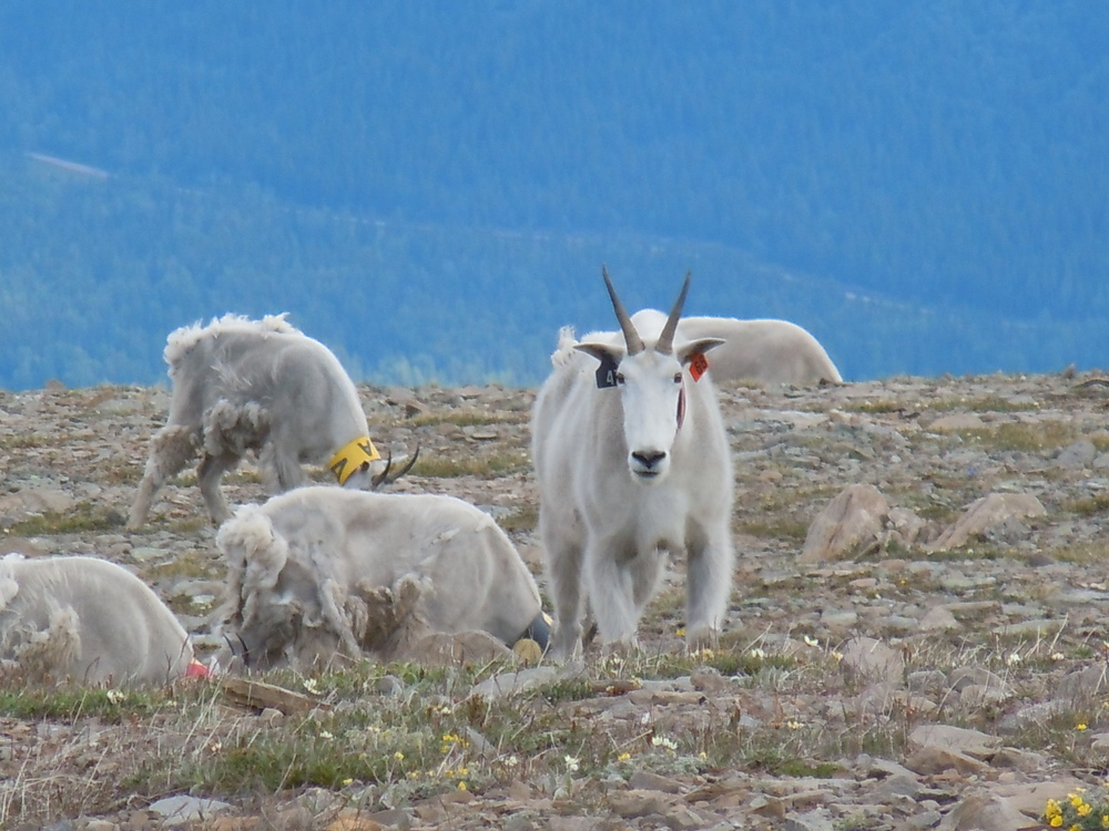 Read Canadian Geographic's story on the evolution of mountain goats
