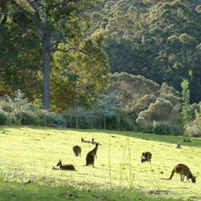 kangaroos grazing at misty valley country cottages.jpg