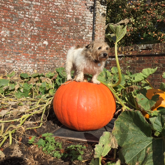The king of the pumpkin patch