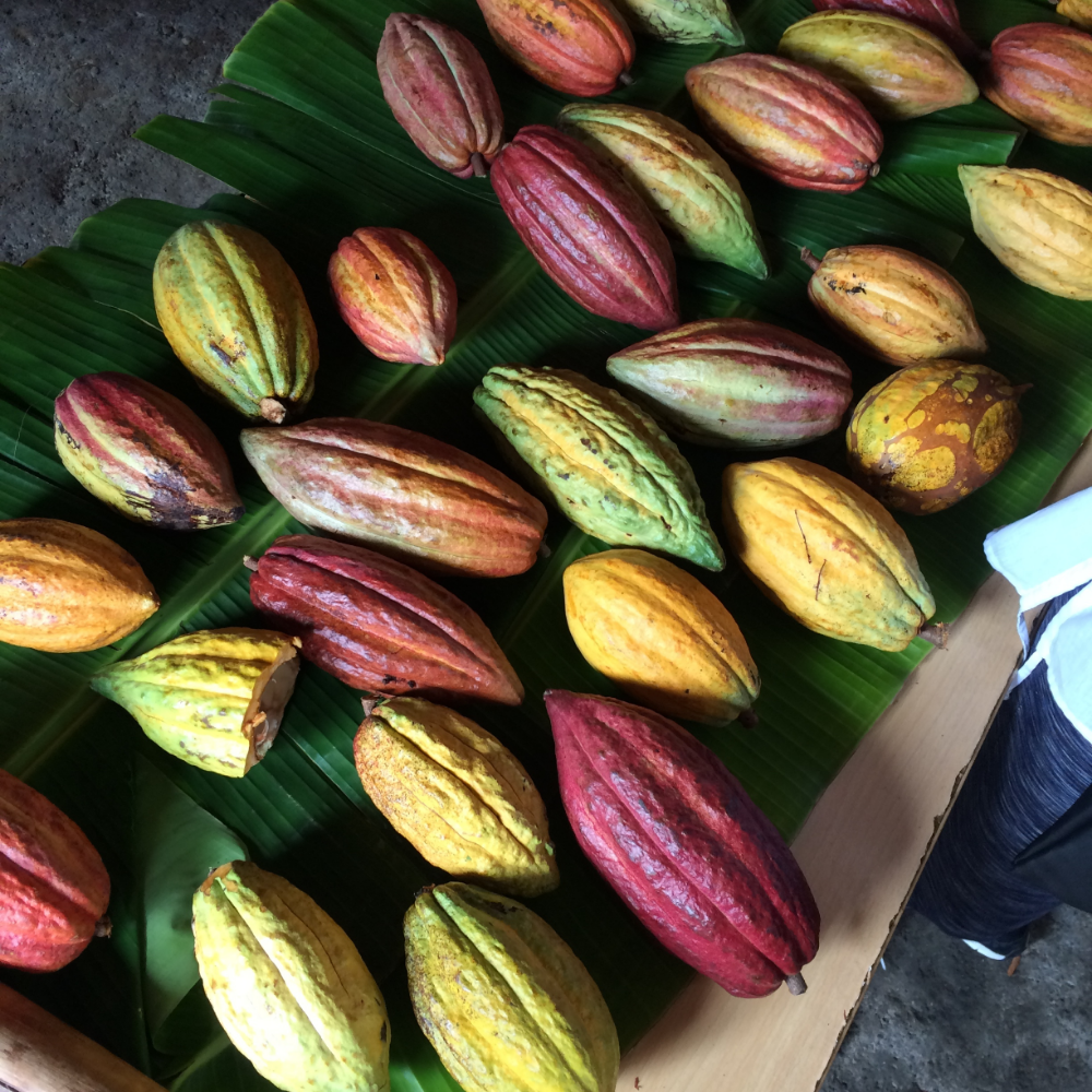 Cocoa pods freshly harvested from Belmont Estate. The green pods turn yellow when ripe and the red pods turn orange.