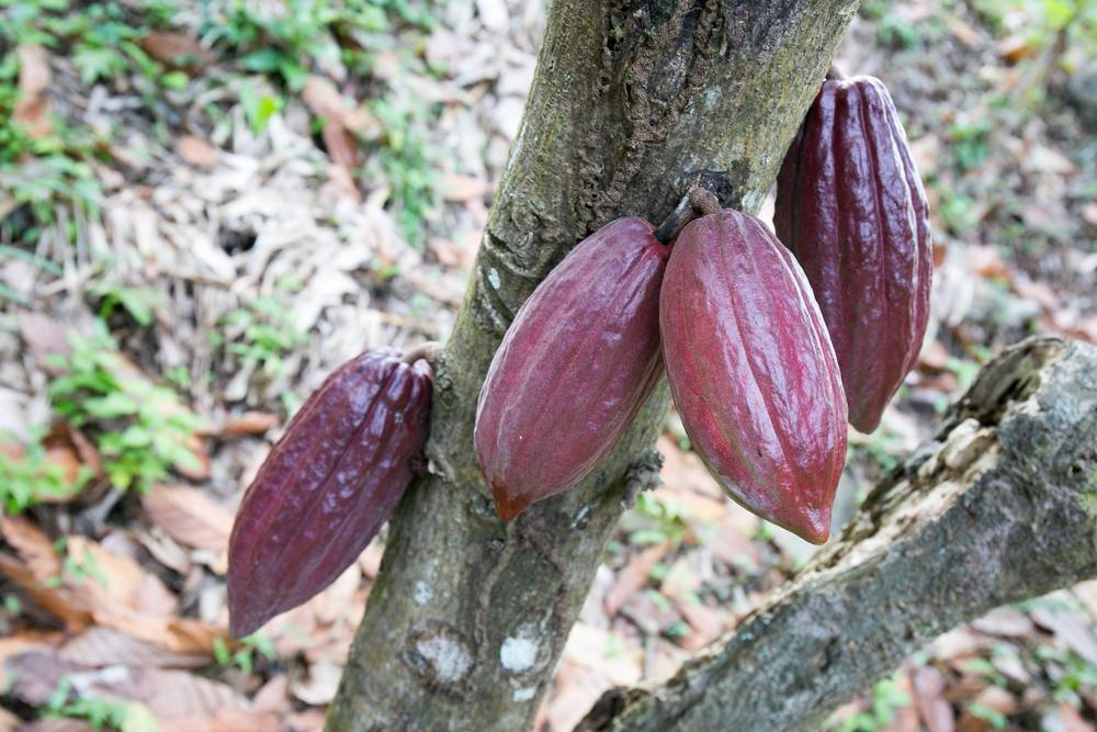 Pods on the cocoa tree.