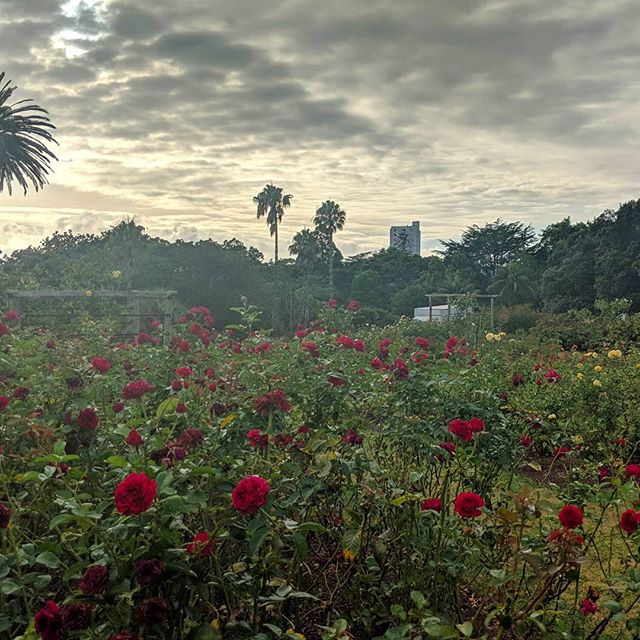 Two weeks ago, I first woke up in #Auckland.  Not really sure about my neighborhood (I'd booked the Airbnb while I was sitting on the runway at SFO), I set out to go buy coffee and breakfast supplies and pretty immediately stumbled upon Judges Bay, a beautiful park, and this 🌹 garden.  Between the apocalyptic sky, the sudden burst of color, and my jetlagged brain's inability to process the cars on the wrong side of the street, I seriously felt like Alice in Wonderland.