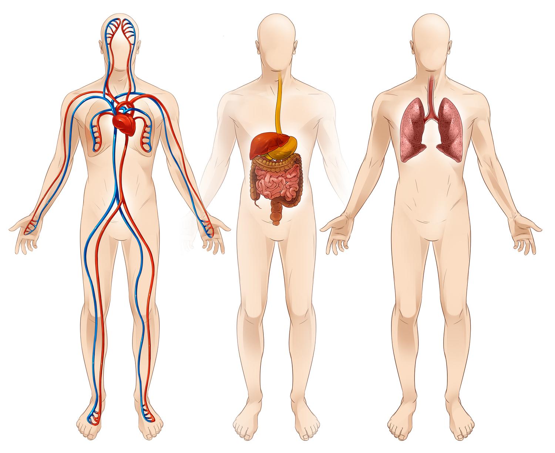 Human Biology Vaidas Bagonas