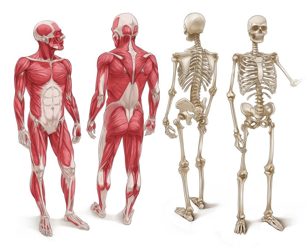 MusclesBones.jpg