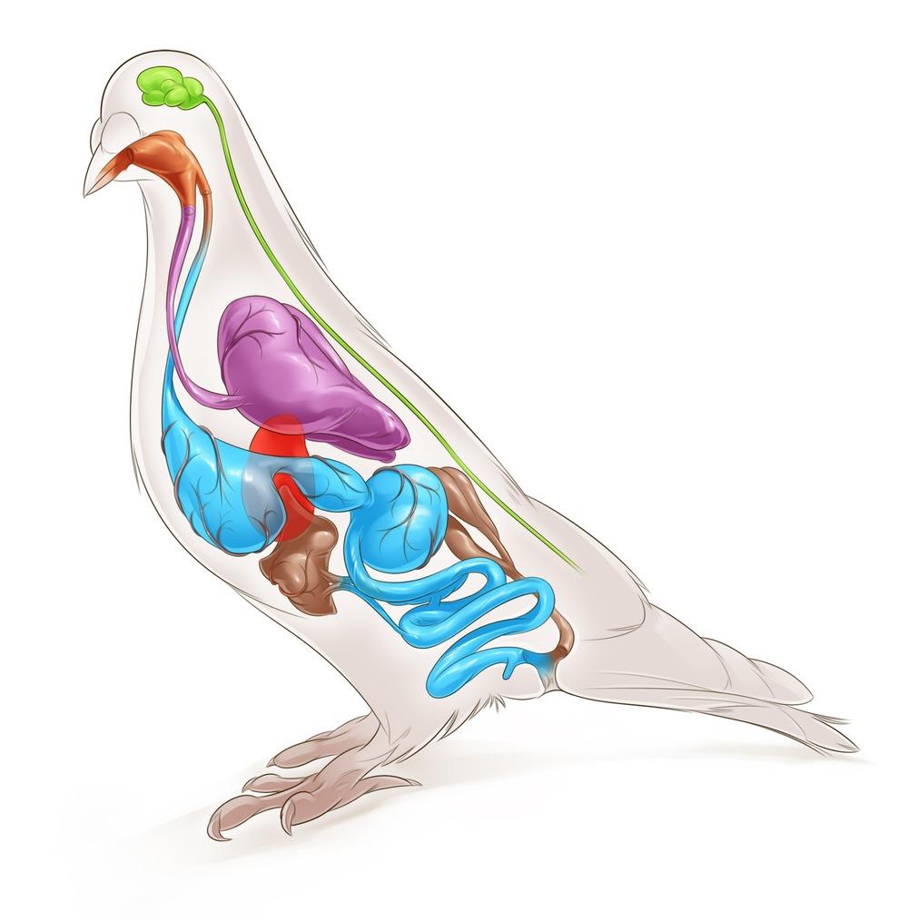 Bird Insides.jpg