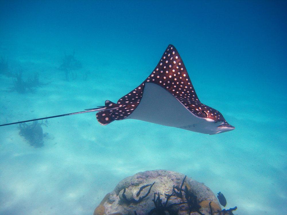 San-Blas-Eagle-Ray-Snorkeling-blue-Sky-sailing-001.jpg