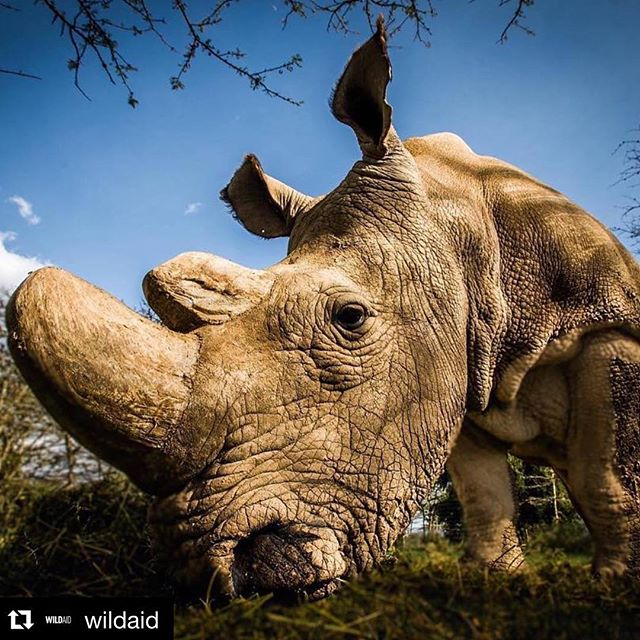 #Repost @wildaid ・・・ #rhinonews - Sudan the last male northern white #rhino has died leaving two females left to save the subspecies from #extinction . After struggling with poor health related to age over the last few days, a veterinary team decided to euthanize Sudan. These beautiful creatures are  #worthmorealive .  #saynotopoaching #whenthebuyingstopsthekillingcantoo #rhinos #ripsudan @andrewwegst photo cred