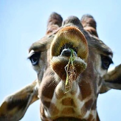 A rather unique shot of the world tallest mammal. Awesome shot @_.h.p.g._ !!!