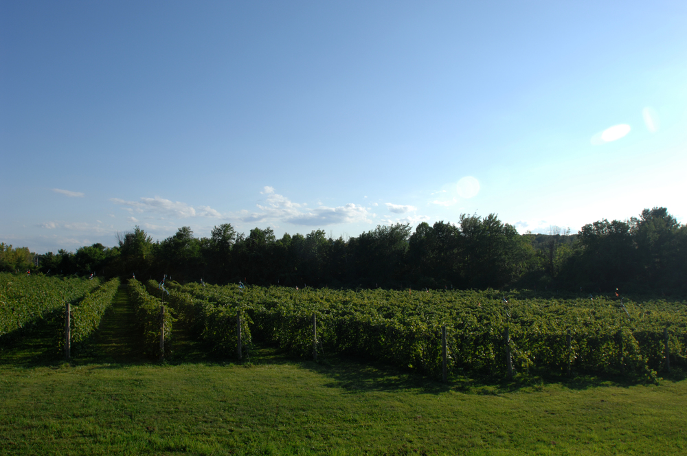 rows of grapevines in the vineyard
