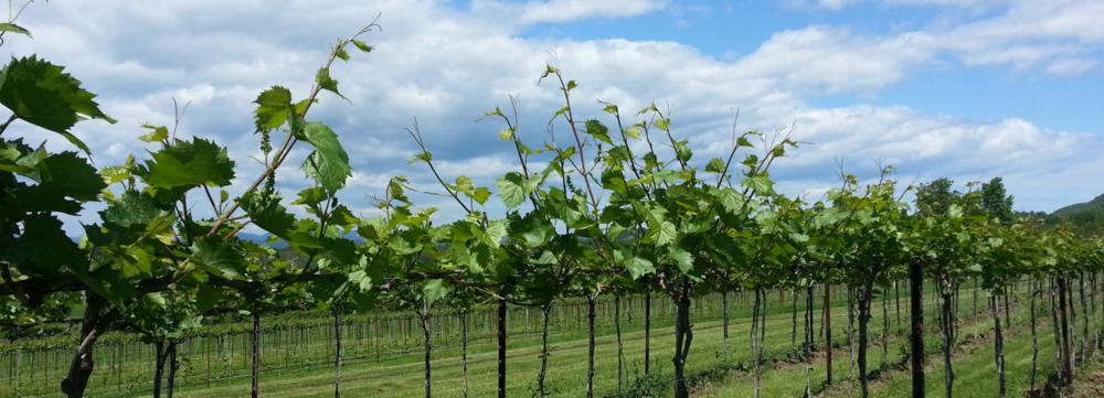 grapevine rows.jpg