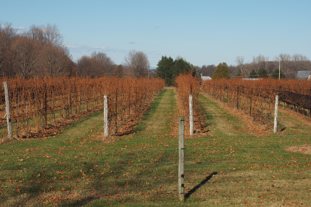rows of bare grapevines.jpg