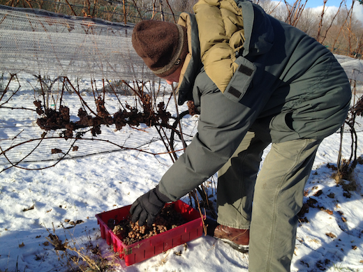 ken picking ice wine
