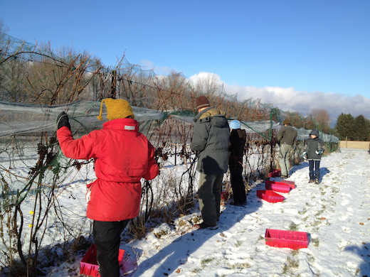 ice wine pickers