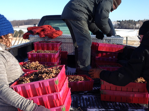 loading frozen grapes